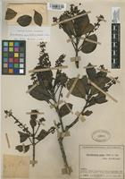 Filed as Gaiadendron punctatum (Ruiz & Pav.) G. Don [family LORANTHACEAE]