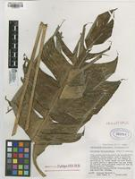 Holotype of Heliconia antioquiensis Abalo&G. Morales [family HELICONIACEAE]