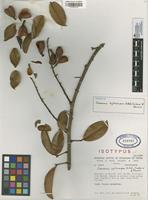 Isotype of Connarus xylocarpus L.A. Vidal, Carbon & Forero [family CONNARACEAE]