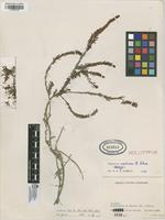 Holotype of Hypericum radicans N.Robson [family HYPERICACEAE]