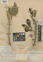 Filed as Aegiphila guianensis Moldenke [family LAMIACEAE]