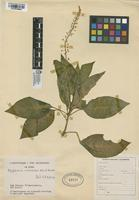 Filed as Phytolacca rivinoides Kunth & C.D. Bouché [family PHYTOLACCACEAE]