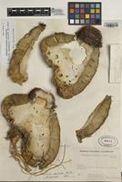 Holotype of Melocactus pescaderensis Xhonn. & Fern. Alonso [family CACTACEAE]
