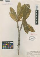 Isotype of Tabernaemontana rimulosa Woodson ex R.E.Schult. [family APOCYNACEAE]