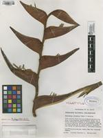 Holotype of Heliconia tricolor Abalo&G. Morales [family HELICONIACEAE]