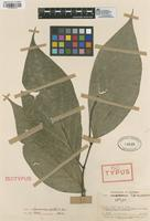 Isotype of Piper condotoense Trel. & Yunck. [family PIPERACEAE]