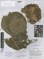 Holotype of Cavanillesia chicamochae Fern. Alonso [family BOMBACACEAE]