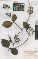 Type of Elaeagia subspicata Standl. [family RUBIACEAE]