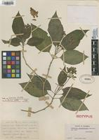 Isotype of Justicia pharmacodes Leonard [family ACANTHACEAE]