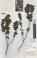 Filed as Ageratina vacciniaefolia (Benth.) R.M. King & H. Rob. [family ASTERACEAE]