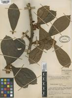 Filed as Ficus trianae Dugand [family MORACEAE]