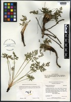 Isotype of Sanicula deserticola Bell [family APIACEAE]
