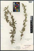 Isotype of Salix gooddingii C. R. Ball [family SALICACEAE]