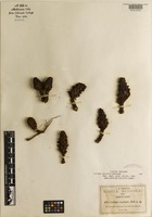 Isotype of Cytinus oxylepis B. L. Rob. [family RAFFLESIACEAE]