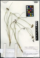 Holotype of Tauschia allioides Bye & Constance [family APIACEAE]