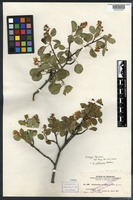 Isotype of Amelanchier oreophila A. Nelson [family ROSACEAE]