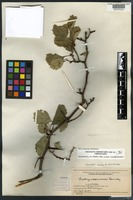 Holotype of Crataegus coloradoides Ramaley [family ROSACEAE]