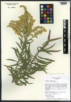Isotype of Solidago juliae G. L. Nesom [family ASTERACEAE]