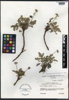 Holotype of Oreoxis alpina J. M. Cout. & Rose ssp. puberulenta W. A. Weber [family APIACEAE]