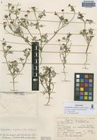Holotype of Chrysanthellum argentinum Ariza & Cerana [family ASTERACEAE]