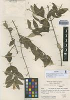 Isotype of Hyaloseris andrade-limae Crist�bal & Cabrera [family ASTERACEAE]