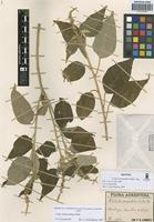Isotype of Croton sarcopetalus Müll. Arg. [family EUPHORBIACEAE]