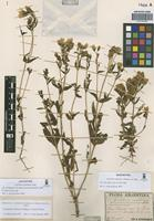 Lectotype of Gentiana achalensis Gilg [family GENTIANACEAE]