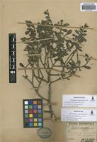 Isolectotype of Phoradendron argentinum Urb. [family VISCACEAE]