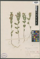 Isotype of Scutellaria virgulata A. Nelson [family LAMIACEAE]