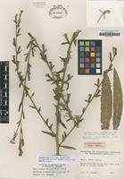 Isotype of Oenothera ravenii W.Dietr. subsp. chilensis W.Dietr. [family ONAGRACEAE]