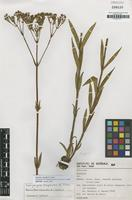 Isotype of Galianthe macedoi E.L.Cabral [family RUBIACEAE]
