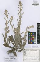 Isotype of Gamochaeta camaquaensis Deble [family ASTERACEAE]