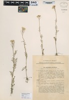 not on sheet of Cardamine hayneana Welw. forma simplex Domin [family BRASSICACEAE]