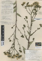 Holotype of Hieracium canadense Michaux [family ASTERACEAE]