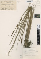 Isotype of Carex graciliculmis Ohwi [family CYPERACEAE]