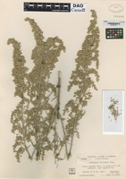 not on sheet of Artemisia parishii A. Gray [family ASTERACEAE]