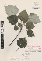 Isotype of Populus rouleauiana Rybr. [family SALICACEAE]
