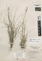 Paratype of Danthonia canadensis B.R. Baum & J.N. Findlay [family POACEAE]