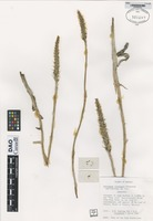 Isotype of Dieregyne flavigula Greenwood and Catling [family ORCHIDACEAE]