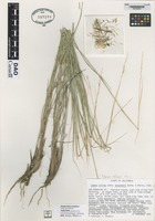 not on sheet of Leymus salinus subspecies mojavensis Barkw. & Atkins [family POACEAE]