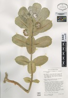 Isotype of Asclepias welshii Holmgren & Holmgren [family ASCLEPIADACEAE]