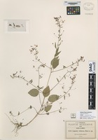not on sheet of Lopezia violacea Rose [family ONAGRACEAE]