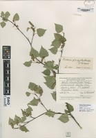 not on sheet of Betula platyphylloides V. Vassil [family BETULACEAE]