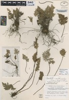 Isotype of Cheilanthes carlotta-halliae W.H. Wagner & E. F. Gilbert [family PTERIDACEAE]