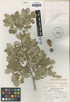 Holotype of Quercus x munzii J. M. Tucker [family FAGACEAE]