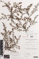 Isotype of Boronia decumbens Duretto [family RUTACEAE]
