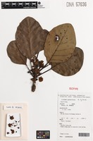 Isotype of Litsea granitica B.Hyland [family LAURACEAE]