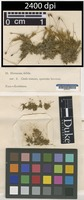 Isotype of Dicranum debile Hook. & Wilson [family DICRANACEAE]