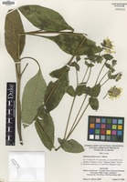 Isotype of Silphium glutinosum J.R.Allison [family ASTERACEAE]