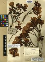 Holotype of Rhododendron calostrotum Balf.f. & Kingdon-Ward ssp. riparioides Cullen [family ERICACEAE]